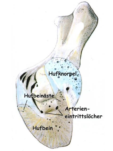 Pferdehuf, Hufaufbau : gesundehufe.com